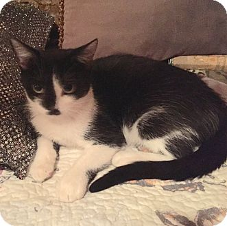 British Shorthair Kitten for adoption in Miami, Florida - Lolita