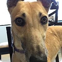 Adopt A Pet :: Hannah - Swanzey, NH