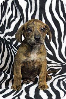 Dachshund/Sheltie, Shetland Sheepdog Mix Puppy for adoption in Westminster, Colorado - Rudulpho