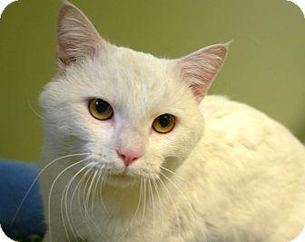 Domestic Shorthair Cat for adoption in Hastings, Nebraska - Olaf