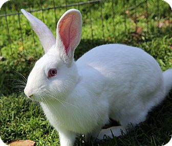 New Zealand Mix for adoption in Tustin, California - Olaf