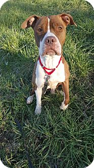 American Pit Bull Terrier Mix Dog for adoption in South Park, Pennsylvania - Juno