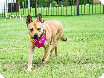 Belgian Malinois Mix Dog for adoption in Lancaster, Texas - Foxy