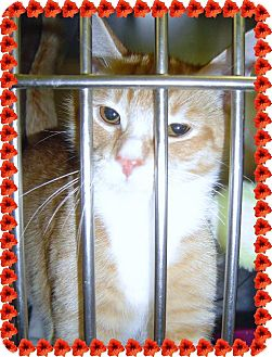 Domestic Shorthair Cat for adoption in Island Heights, New Jersey - Mitts