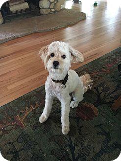 Poodle (Miniature)/Maltese Mix Dog for adoption in San Diego, California - Snowbie