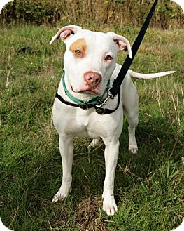 Pit Bull Terrier Mix Dog for adoption in Bellingham, Washington - Zoey