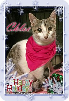 Domestic Shorthair Cat for adoption in East Brunswick, New Jersey - Chloe