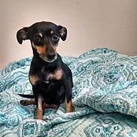 Adopt A Pet :: Macy - Cherry Valley, CA