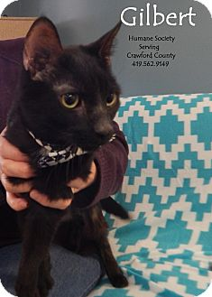 Domestic Shorthair Cat for adoption in Bucyrus, Ohio - Gilbert
