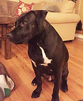 Labrador Retriever Mix Dog for adoption in NYC, New York - HAMLET