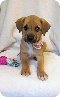 Boxer/Labrador Retriever Mix Puppy for adoption in Elkton, Maryland - Betty