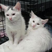 Adopt A Pet :: Cotton and Q-Tip - Somerset, KY