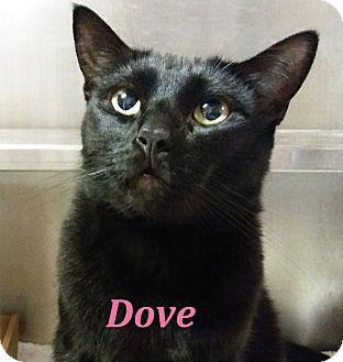 Domestic Shorthair Cat for adoption in El Cajon, California - Dove