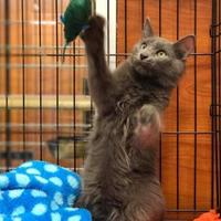 Russian Blue/Domestic Shorthair Mix Cat for adoption in McDonough, Georgia - Coleman (5-Set Kit 1 041117)