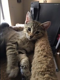 Domestic Mediumhair Kitten for adoption in Kennedale, Texas - Parker