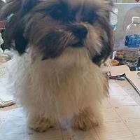 Adopt A Pet :: Baby Doll - Davie, FL