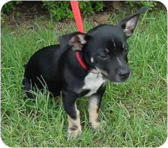 Chihuahua/American Pit Bull Terrier Mix Dog for adoption in Brenham, Texas - Sebastian