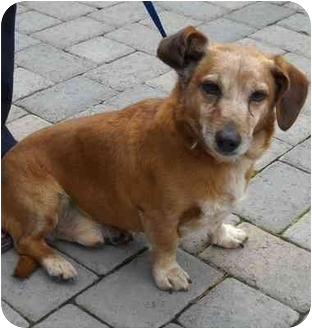 Dachshund/Corgi Mix Dog for adoption in Salem, Oregon - Oso