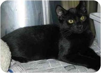 Domestic Shorthair Kitten for adoption in North Kingstown, Rhode Island - Emma