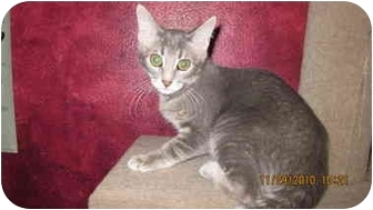 Domestic Shorthair Kitten for adoption in Farmers Branch, Texas - Daisy May