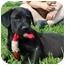 Photo 1 - Labrador Retriever/Boxer Mix Puppy for adoption in Portland, Maine - Lizard