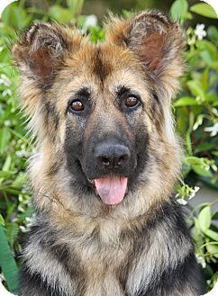 German Shepherd Dog Puppy for adoption in Los Angeles, California - Tansy von Tanna