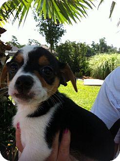Rat Terrier/Shih Tzu Mix Puppy for adoption in Baton Rouge, Louisiana - Owen