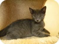 Domestic Shorthair Kitten for adoption in Tampa, Florida - Yoshi