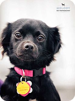 Chihuahua/Toy Fox Terrier Mix Puppy for adoption in Mt Gretna, Pennsylvania - Shrimp (Sheba)