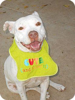 Staffordshire Bull Terrier Dog for adoption in Phoenix, Arizona - XENA