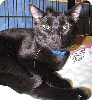 Domestic Shorthair Cat for adoption in Gainesville, Florida - Gideon