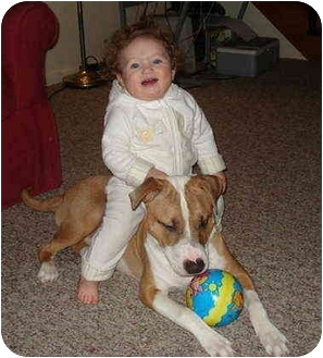 Boxer/American Staffordshire Terrier Mix Puppy for adoption in Bloomsburg, Pennsylvania - Bruiser