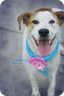 Australian Cattle Dog Mix Dog for adoption in Corpus Christi, Texas - Mila