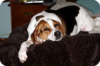 Treeing Walker Coonhound Mix Dog for adoption in Salem, New Hampshire - ANNIE **