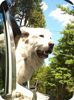 Great Pyrenees Dog for adoption in Grafton, Massachusetts - Biggins