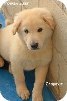 Retriever (Unknown Type)/Husky Mix Puppy for adoption in Danielsville, Georgia - Chapman