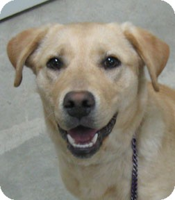 Labrador Retriever Mix Dog for adoption in Bonners Ferry, Idaho - Tansy