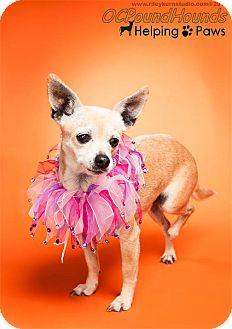 Chihuahua Dog for adoption in Orange, California - Sunkist (Kissy)