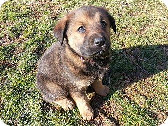 Husky/German Shepherd Dog Mix Puppy for adoption in Arden, North Carolina - Rose