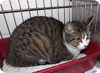 Domestic Shorthair Cat for adoption in Henderson, North Carolina - Blue