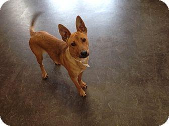 Carolina Dog Mix Dog for adoption in Manhasset, New York - Roger
