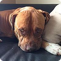 Adopt A Pet :: Hudson - Hollywood, FL