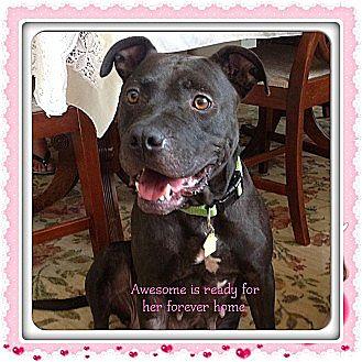 Bulldog/Labrador Retriever Mix Dog for adoption in Myakka City, Florida - Awesome