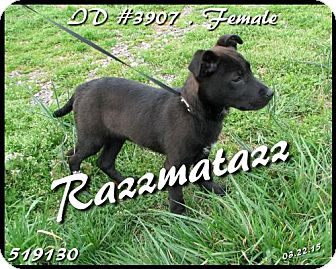 Labrador Retriever Puppy for adoption in Corinth, Mississippi - Razzmatazz