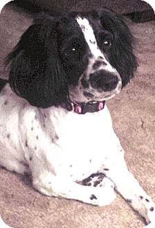 Cocker Spaniel Dog for adoption in Sugarland, Texas - Riplee