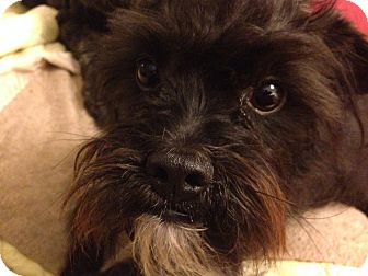 Brussels Griffon/Japanese Chin Mix Dog for adoption in Santa Barbara, California - Elliot