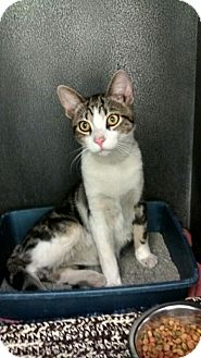 Domestic Shorthair Cat for adoption in Monroe, Michigan - Henry