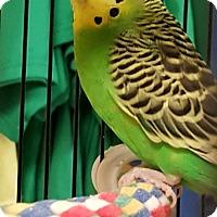 Adopt A Pet :: Buzz - Lenexa, KS