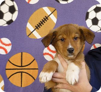 Australian Shepherd/Golden Retriever Mix Puppy for adoption in Oviedo, Florida - Sam