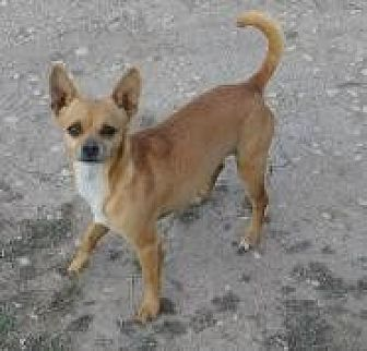 Chihuahua Dog for adoption in Pipe Creek, Texas - Chica